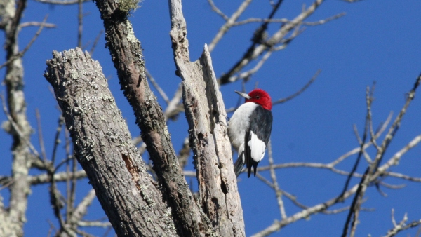 Red-headed Woodpeckers are thick in the headwaters of the Haw River, a vast marshy seep covered with dead and dying trees.