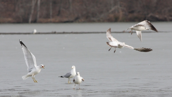 Ring-billed Gulls fight over scraps at an iced-over Lake Higgins, Guilford Co, NC