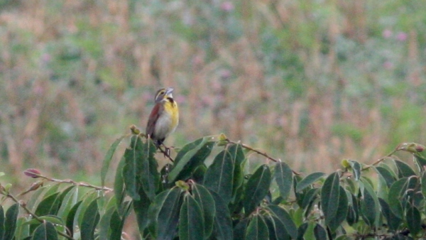 This Dickcissel was the first seen in Guilford County in 31 years. But far from the last.